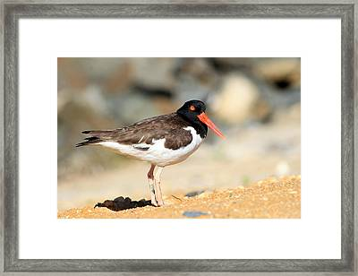 Oyster Catcher 6-4 Framed Print by Diane Rada