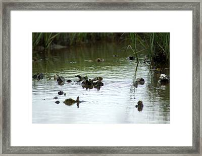 Oysters Framed Print by Kim Pate
