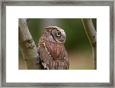 Pablo The Screech Owl Framed Print