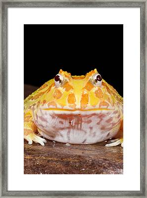 Pac Man Frog Ceratophrys On A Rock Framed Print by David Kenny