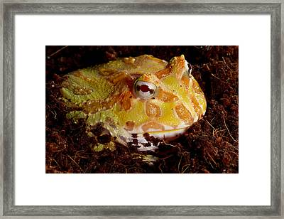 Pac Man Frog Framed Print by David Kenny