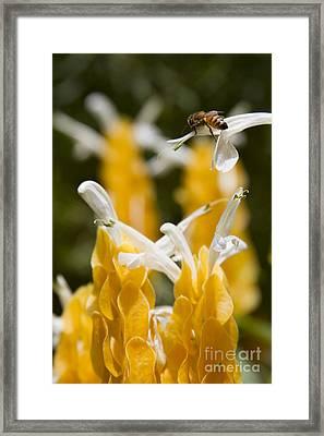 Pachystachys Lutea - Lollipop Plant - Golden Candle - Shrimp Plant Framed Print by Sharon Mau