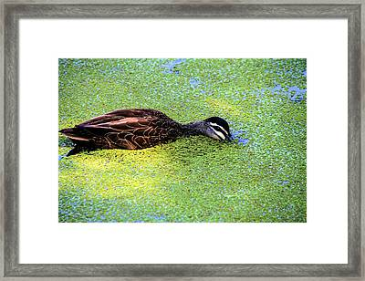 Pacific Black Duck In Algae Framed Print