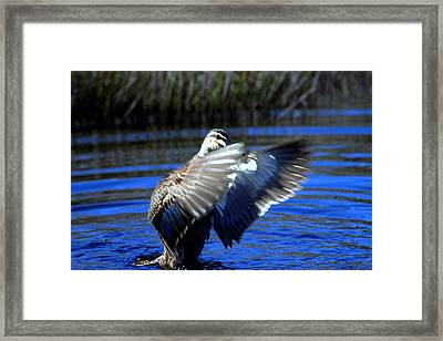 Framed Print featuring the photograph Pacific Black Duck by Miroslava Jurcik
