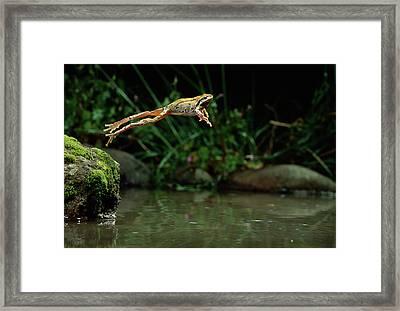 Pacific Chorus Frog Jumping Framed Print