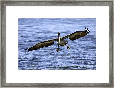 Pacific Coast Brown Pelican Framed Print