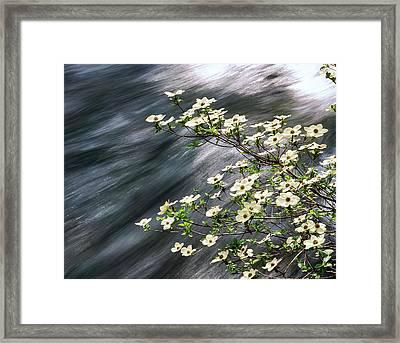 Pacific Dogwood Cornus Nuttallii Framed Print