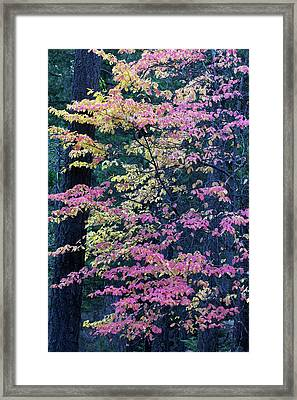 Pacific Dogwood Trees In Autumn Hues Framed Print