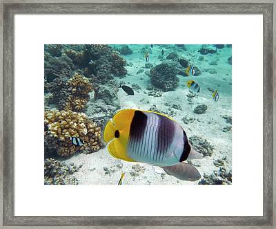 Pacific Double-saddle Butterflyfish Framed Print by David Wall