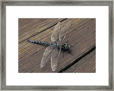 Pacific Forktail Framed Print