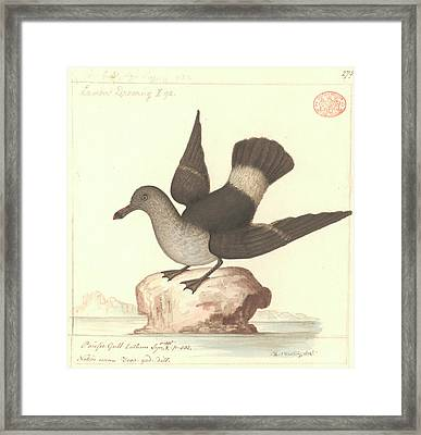 Pacific Gull Framed Print by Natural History Museum, London