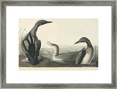 Pacific Loon  Framed Print