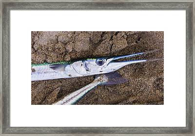 Pacific Needlefish Framed Print by Aged Pixel