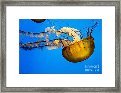 Pacific Nettle Jellyfish Framed Print by Darleen Stry