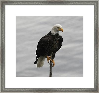 Pacific Northwest Eagle IIi Framed Print by Mary Gaines