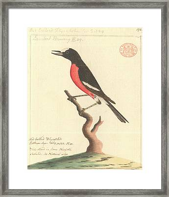 Pacific Robin Framed Print by Natural History Museum, London