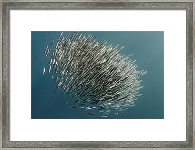Pacific Sardine Baitball South Africa Framed Print