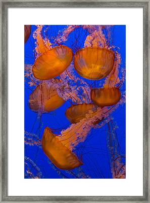 Pacific Sea Nettle Cluster 2 Framed Print by Scott Campbell