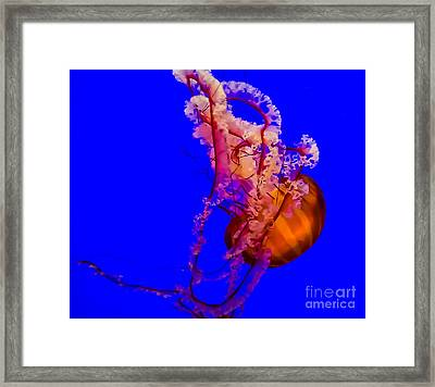 Pacific Sea Nettle Jellyfish Framed Print