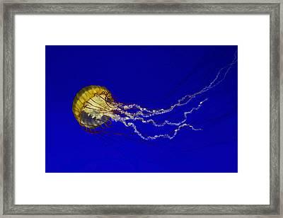 Pacific Sea Nettle Framed Print by Mark Kiver
