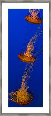 Pacific Sea Nettles In A Row Framed Print by Scott Campbell