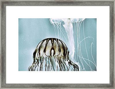 Pacific Sea Nettles Framed Print by Marianna Mills
