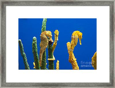 Pacific Seahorses Hippocampus Ingens Are Among The Giants Of Their World Framed Print