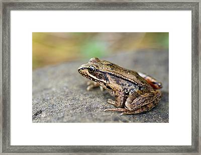 Pacific Tree Frog On A Rock Framed Print by David Gn