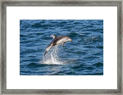 Pacific White-sided Dolphin Leaping Framed Print