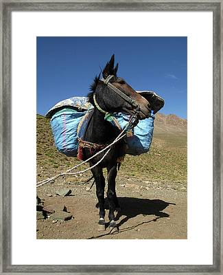 Pack Mule Framed Print by Cordelia Molloy