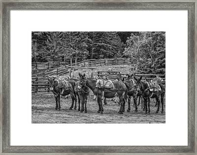 Pack Mules Framed Print