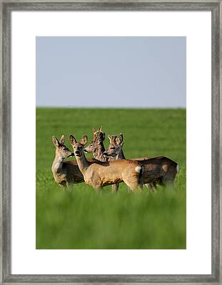 Pack Of Roe Deer Framed Print