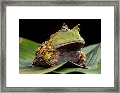 Pacman Frog  Framed Print by Dirk Ercken