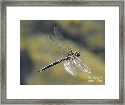 Framed Print featuring the photograph Paddletail Darner In Flight by Vivian Christopher