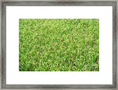 Paddy Field Framed Print by Yew Kwang