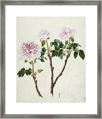 Paeonia Moutan, 19th-century Artwork Framed Print by Science Photo Library
