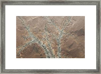 Pagiophyllum Conifer Leaf Fossils Framed Print by Science Stock Photography