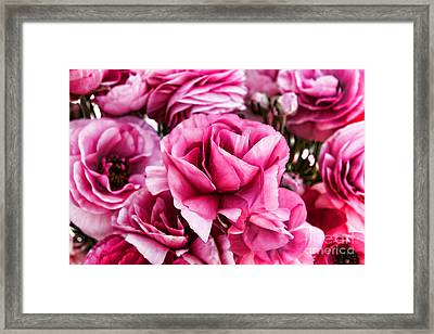 Paint Me Pink Ranunculus Flowers By Diana Sainz Framed Print