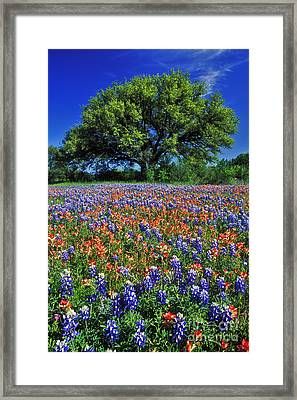Paintbrush And Bluebonnets - Fs000057 Framed Print