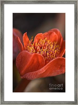 Paintbrush Lily Framed Print by Joy Watson