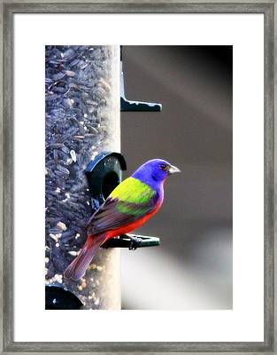 Painted Bunting - Img 9757-002 Framed Print