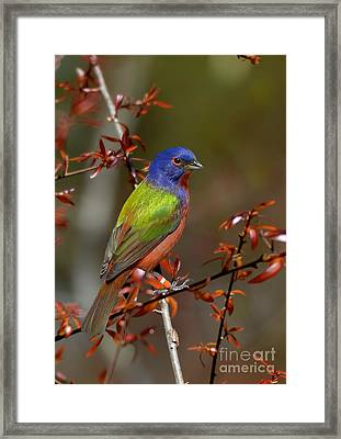 Painted Bunting - Male Framed Print by Kathy Baccari
