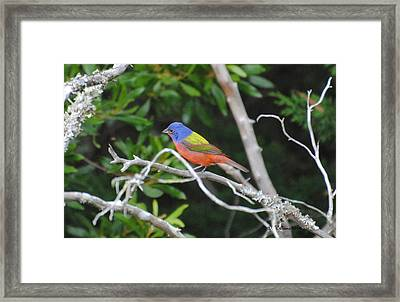 Painted Bunting Out On A Limb Framed Print