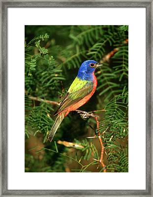 Painted Bunting (passerina Ciris Framed Print by Richard and Susan Day