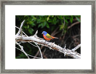 Painted Bunting Perched On Limb Framed Print