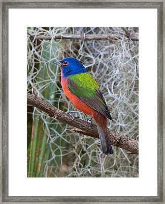 Painted Bunting Framed Print by Phil Stone