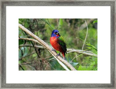 Framed Print featuring the photograph Painted Bunting Photo by Meg Rousher