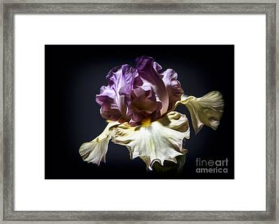 Painted Iris Framed Print by Holly Martin