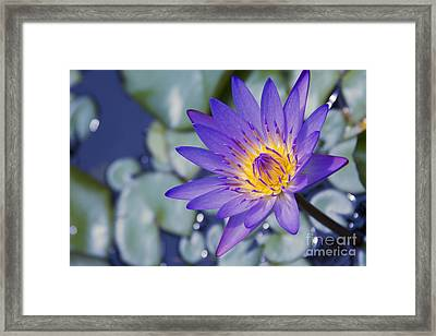Painted Islands Of Summer Lilies - The Lotus Blossom Framed Print by Sharon Mau