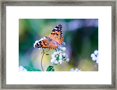 Painted Lady Butterfly 1 Framed Print
